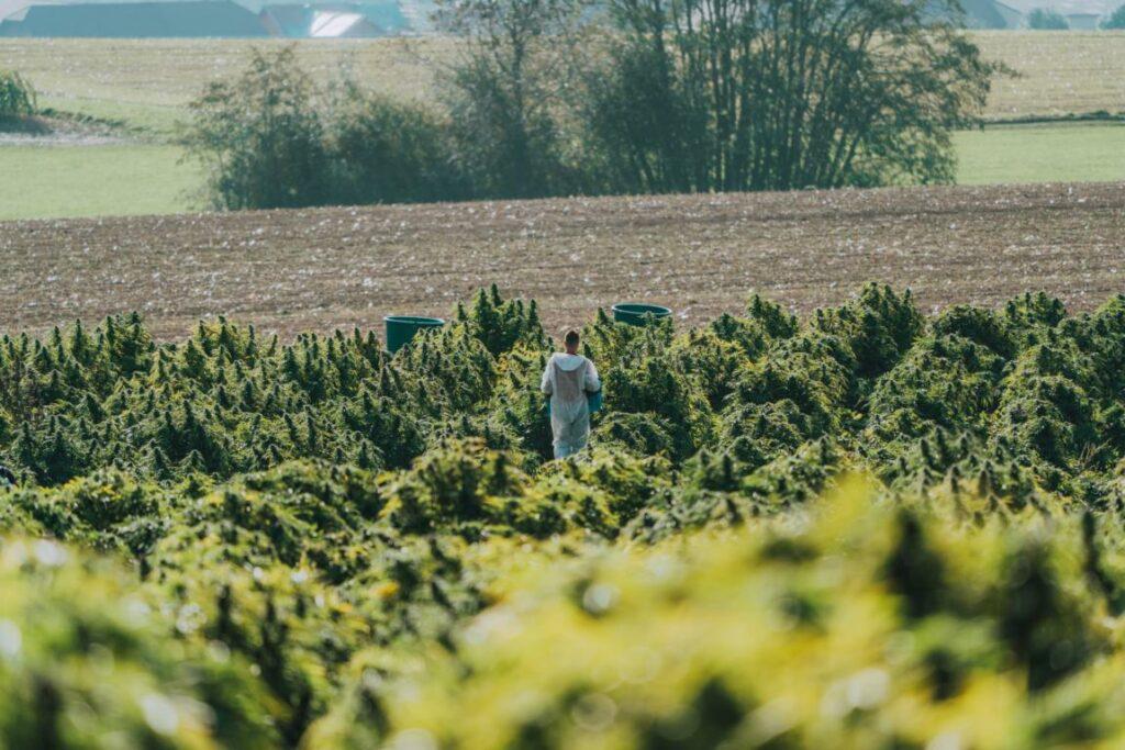 CBD Hanfplantage - Nutzhanf als Ressource